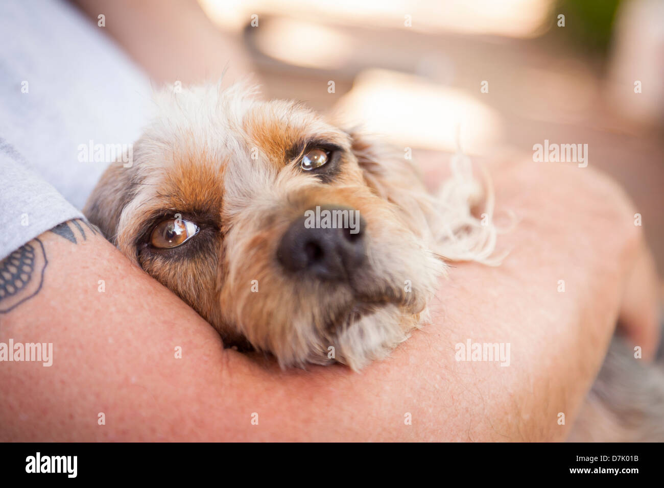 Cute Terrier Puppy Look On As Master Holds Her in His Lap. - Stock Image