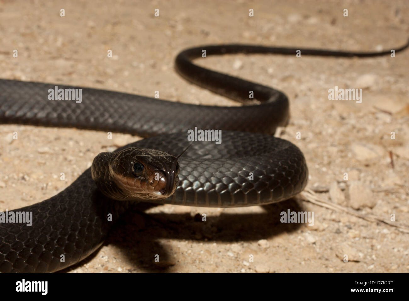 A brownchin racer smelling the air with its forked tongue - Stock Image