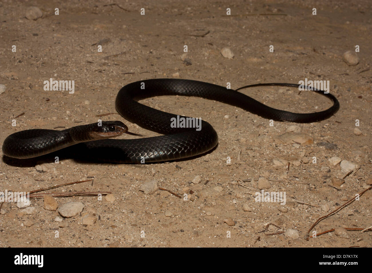 Brown-chin racer with tongue out (Coluber constrictor helvigularis) - Stock Image