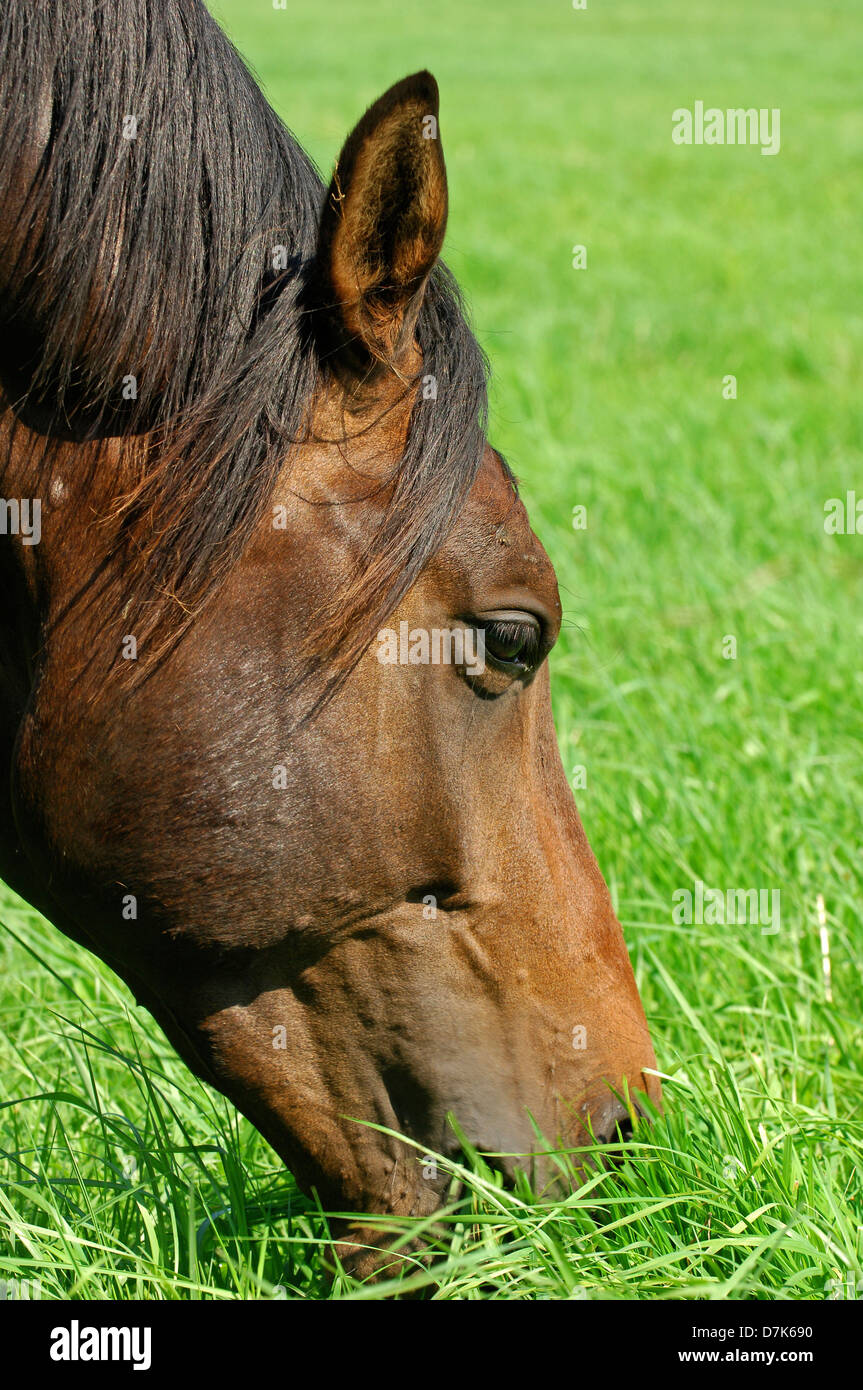 horse eating grass in a pasture - Stock Image