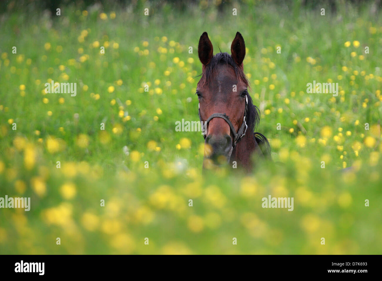 Graditz, Germany, horse is alone in the middle of a flower meadow - Stock Image