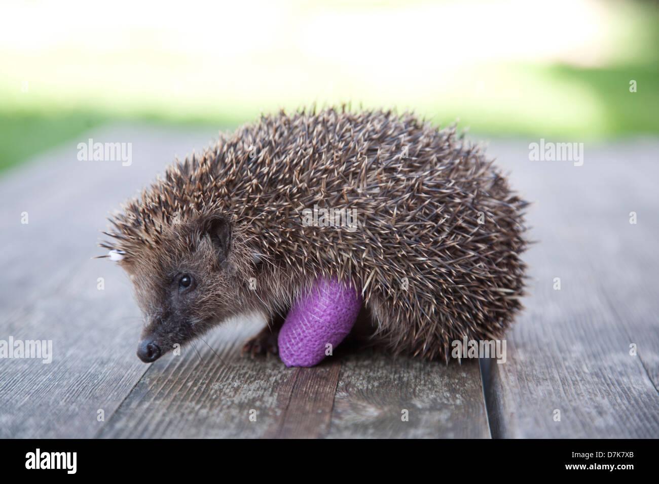 European Hedgehog with bandage on broken leg - Stock Image