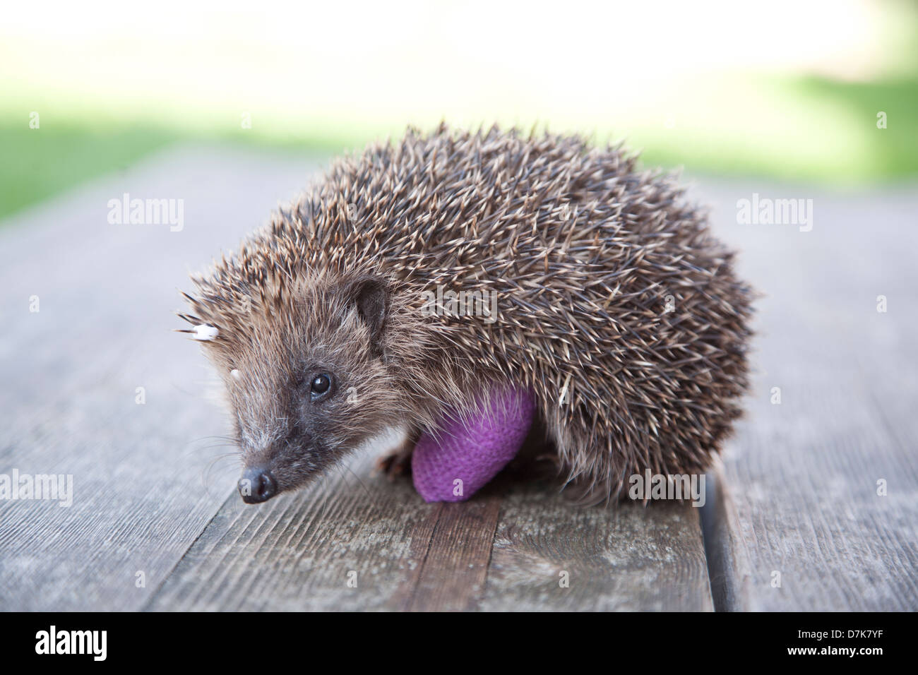 European Hedgehog with bandage on broken leg - Stock Image