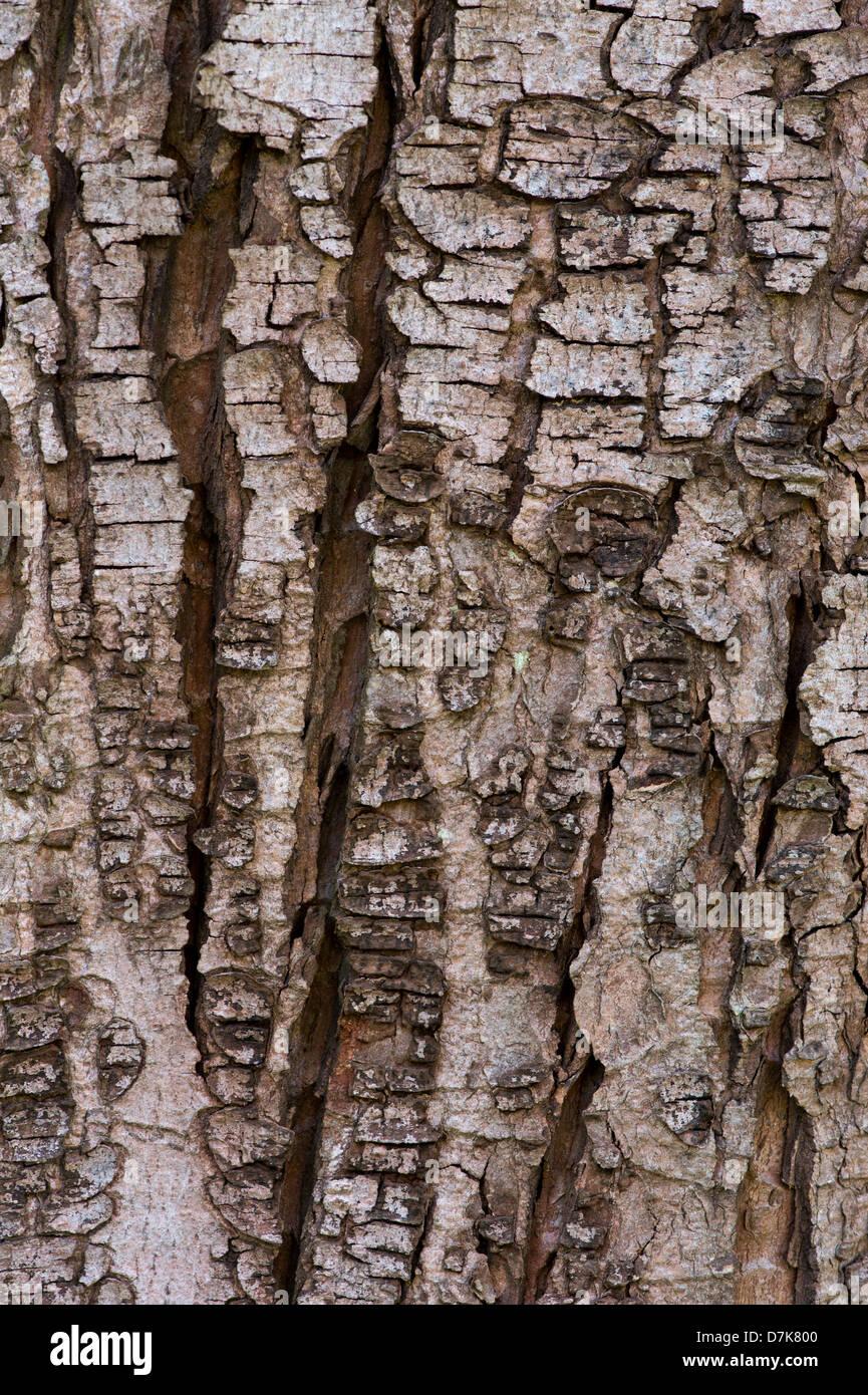 Acer Saccharum Sugar Maple Tree Bark Rock Maple Stock Photo
