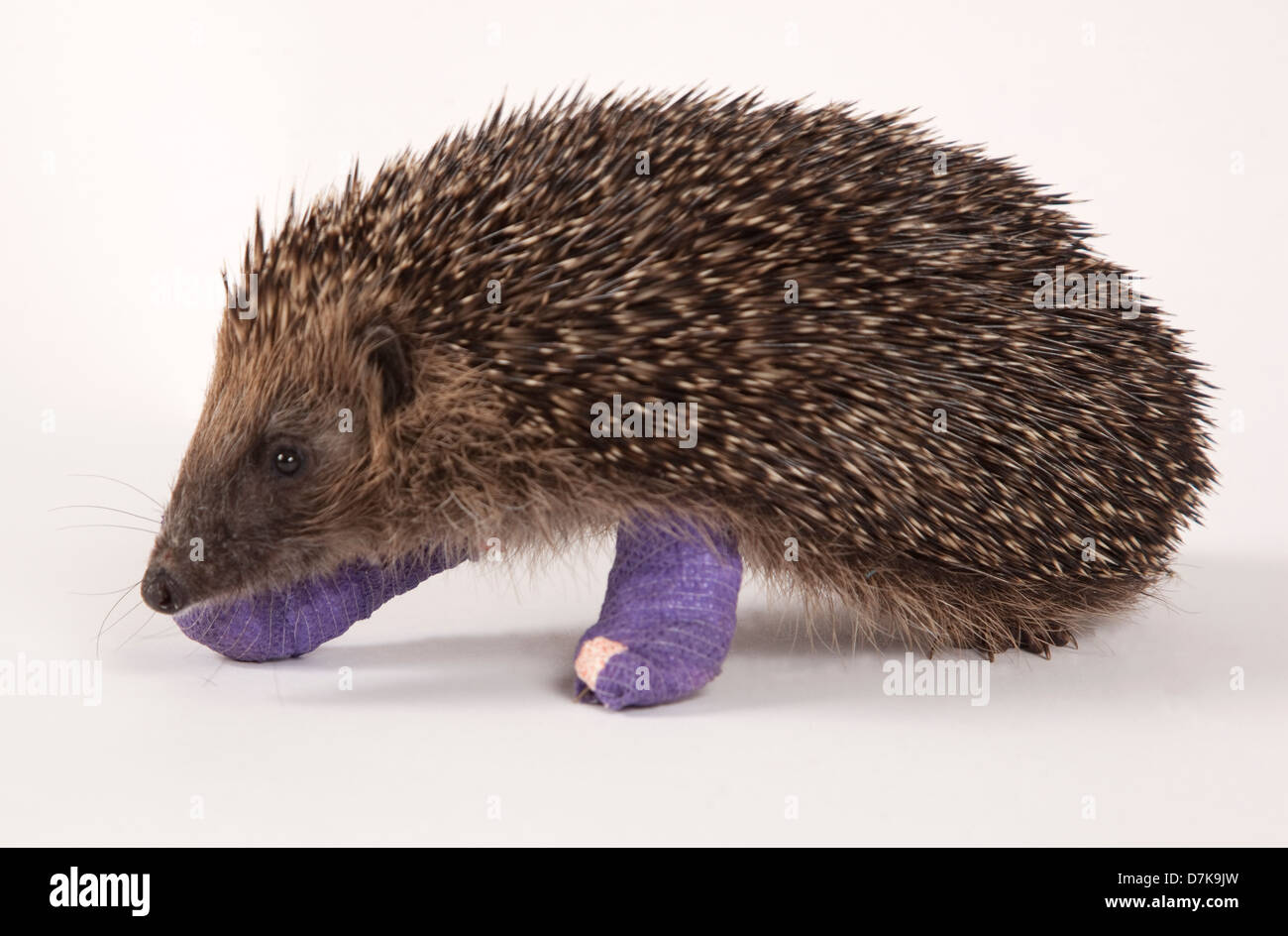European Hedgehog with bandages on two broken legs - Stock Image