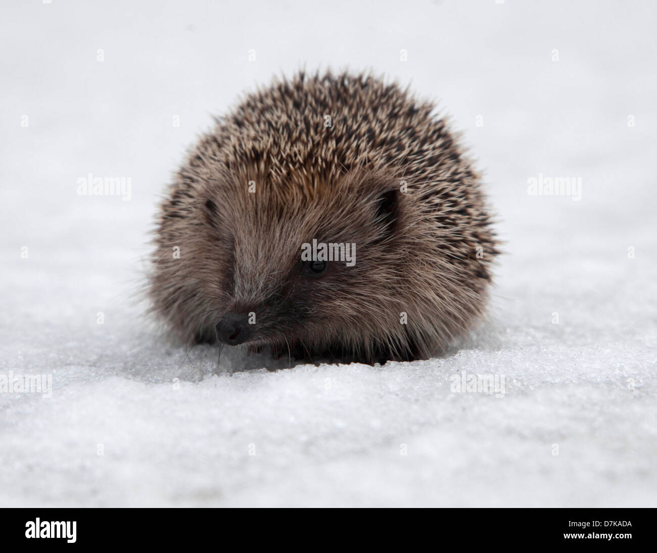 European Hedgehog in snow - Stock Image