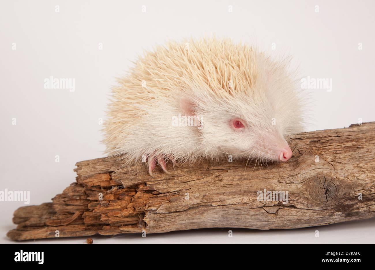 Albino European Hedgehog in Studio - Stock Image