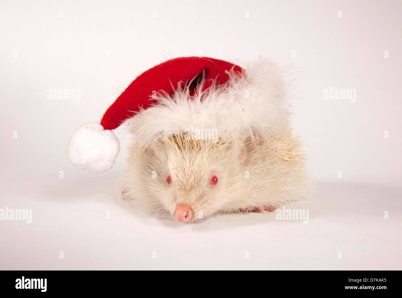 Albino European Hedgehog wearing Santa Hat - Stock Image
