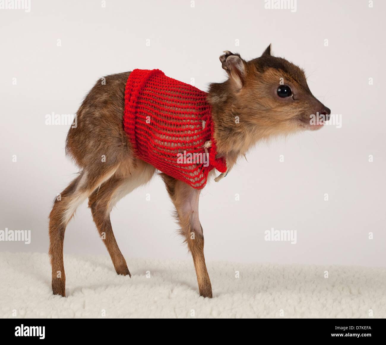 Juvenile Muntjac deer with bandage - Stock Image