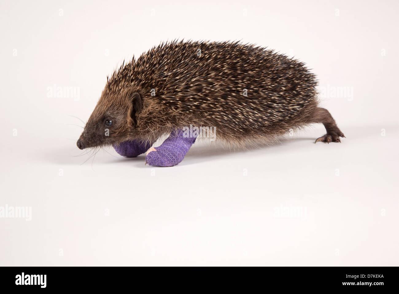 European Hedgehog with broken leg - Stock Image