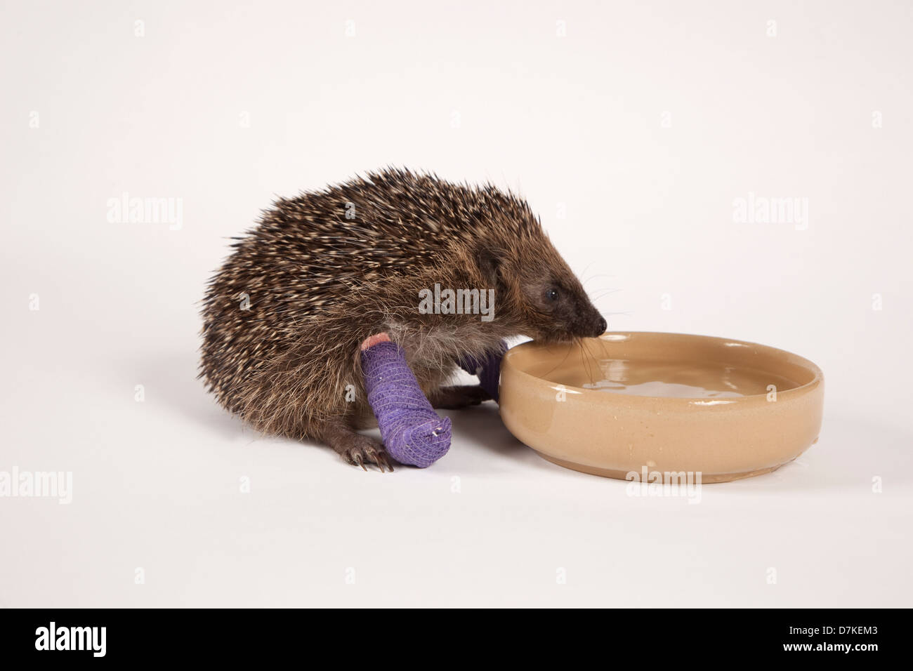 European Hedgehog with broken leg drinking Stock Photo