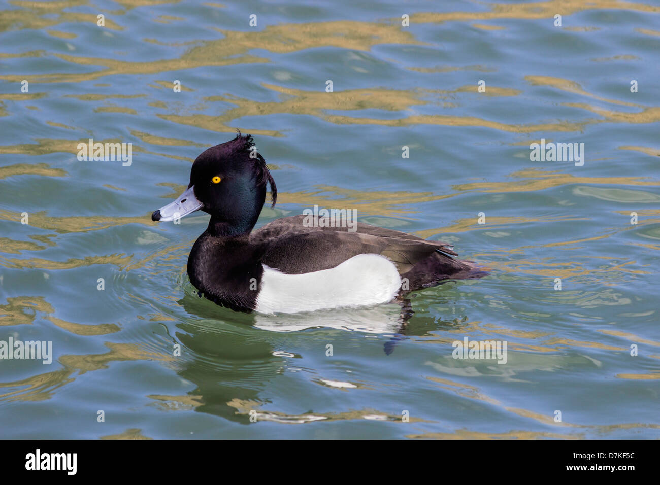 Duck paddling stock photos duck paddling stock images - Swimming pools in weymouth dorset ...