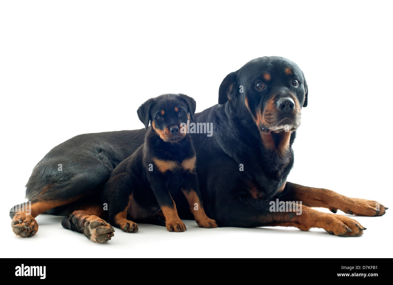 Portrait Of Purebred Rottweiler Puppy And Adult In Front Of White