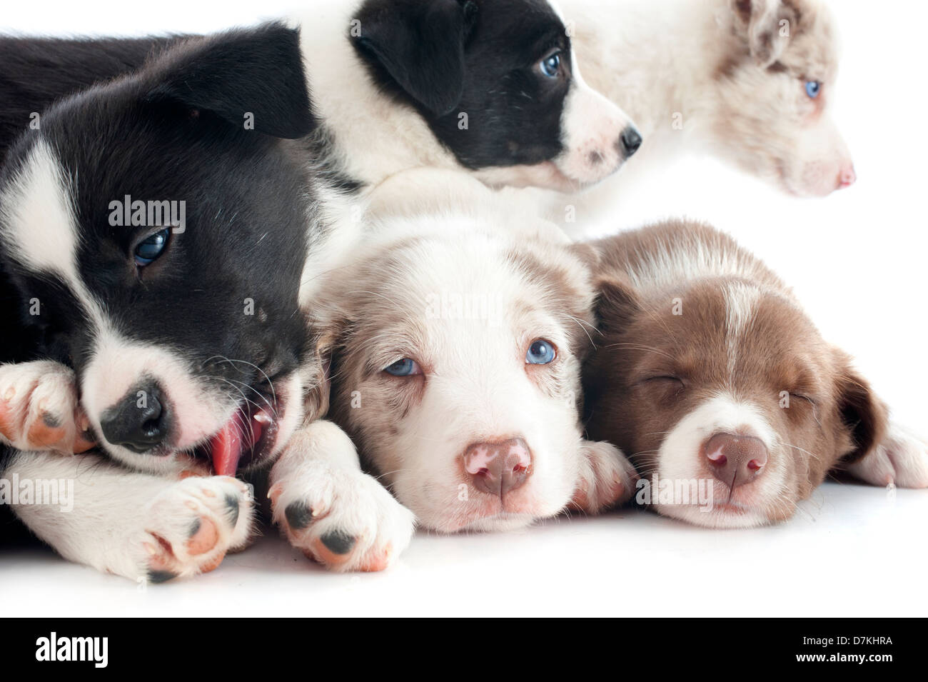 portrait of puppies border collie in front of white background - Stock Image