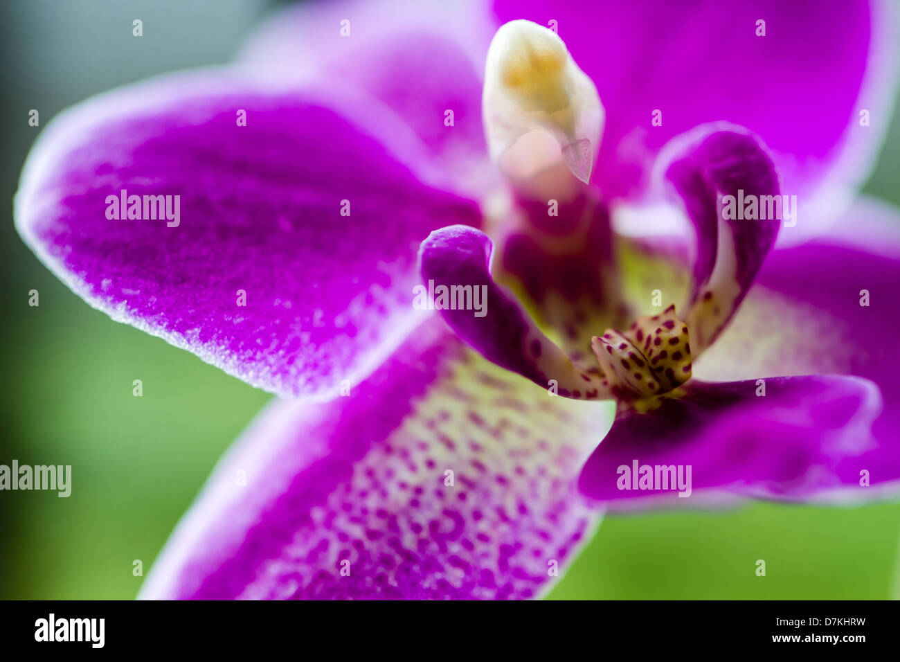 Macro photo of a purple orchid - Stock Image