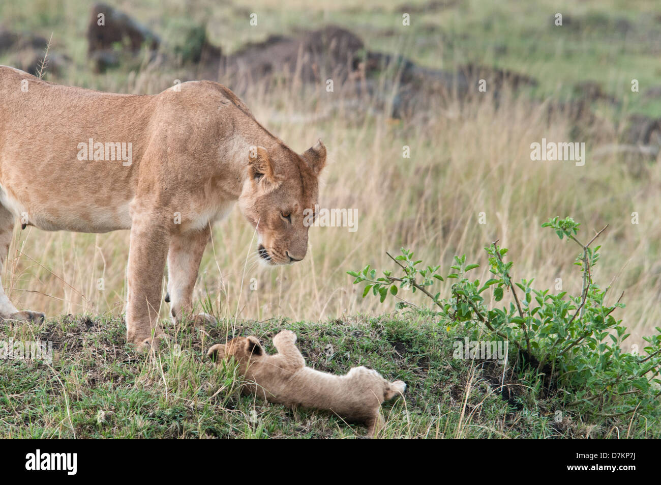 Lioness, Panthera leo, looks with dismay at her falling cub, Masai Mara National Reserve, Kenya, East Africa - Stock Image