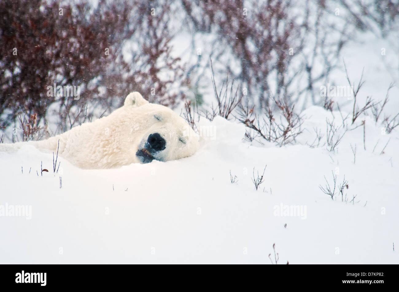 Polar Bear sleeping in the snow, Ursus maritimus, Wapusk National Park, near Hudson Bay, Cape Churchill, Manitoba, - Stock Image