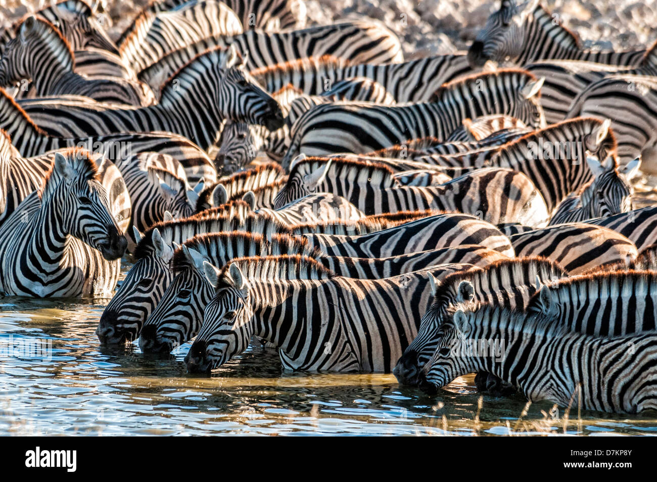 Herd or dazzle of Burchell's Zebras, Equus burchellii, drinking at the Okaukuejo waterhole, Etosha, Namibia, - Stock Image