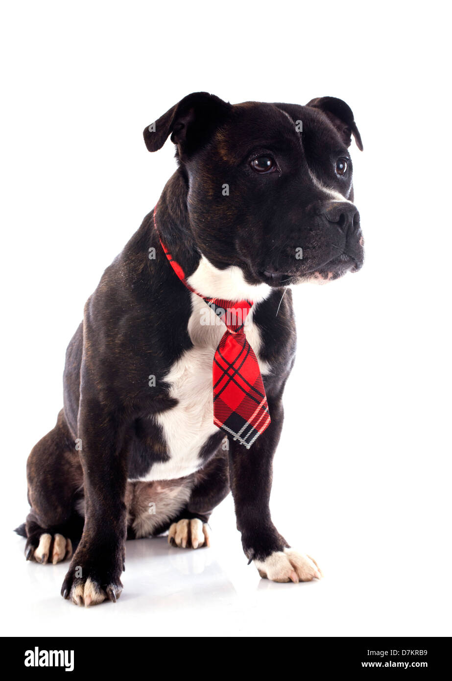 portrait of a staffordshire bull terrier with tie in front of white background - Stock Image