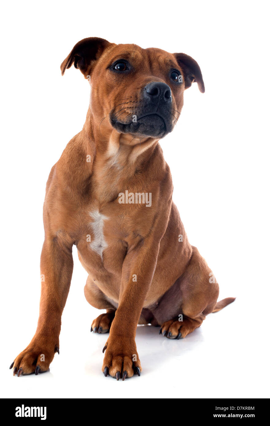 portrait of a staffordshire bull terrier in front of white background - Stock Image