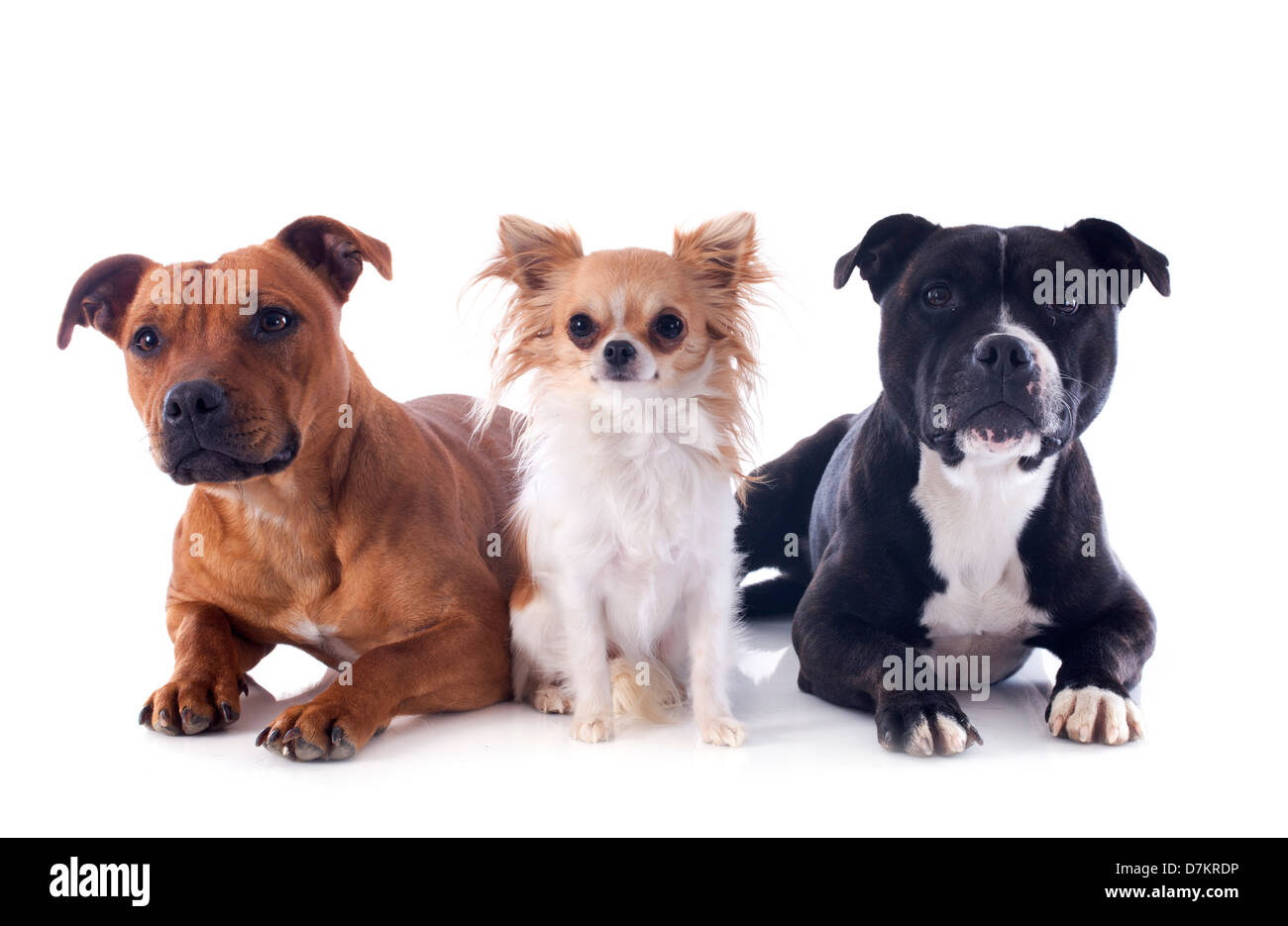 portrait of a staffordshire bull terriers and chihuahua in front of white background - Stock Image