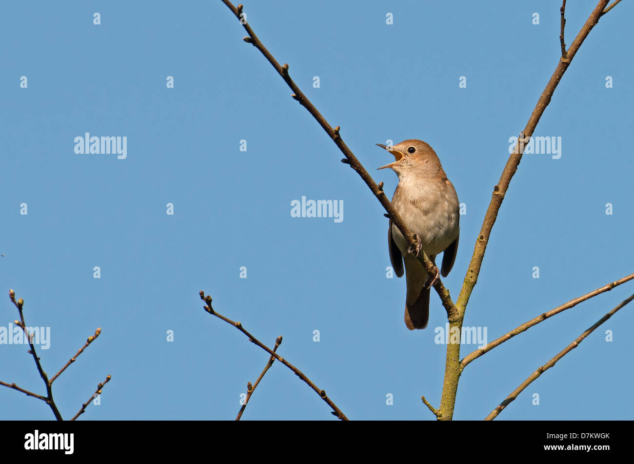 Nightingale, Luscinia megarhynchos In Song. Spring. UK - Stock Image