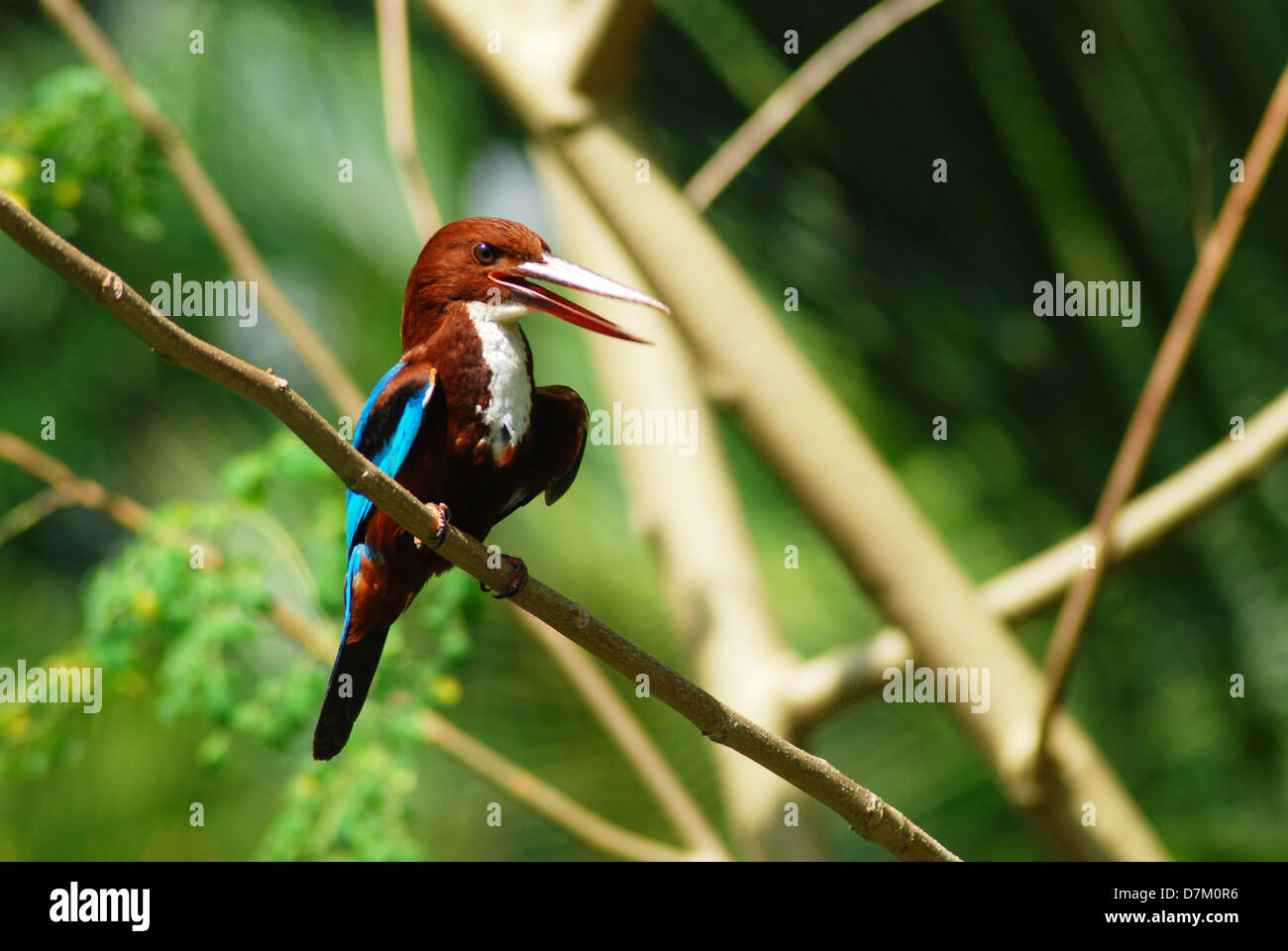 The White-throated Kingfisher - Stock Image