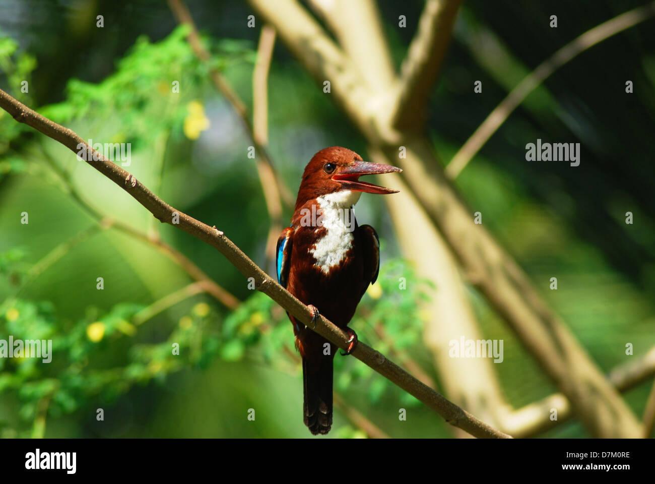 White-throated Kingfisher - Stock Image