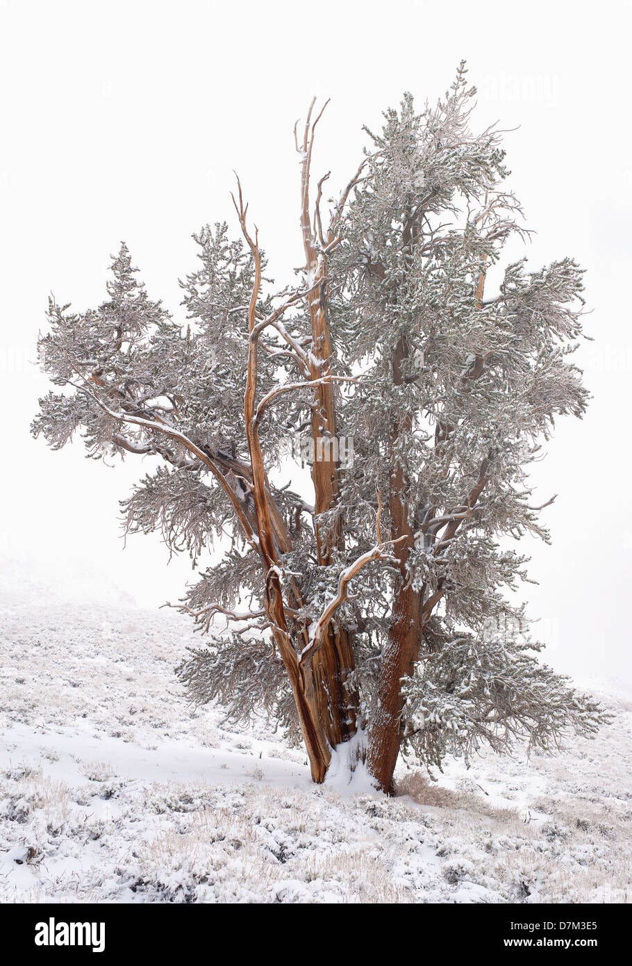 USA, California, Conifer with hoarfrost - Stock Image