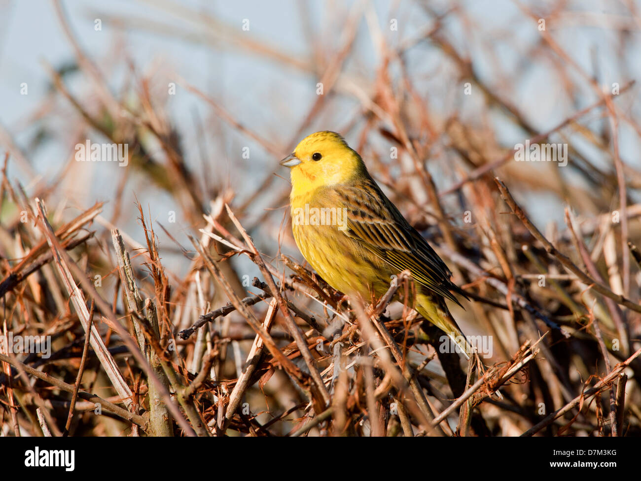 Yellowhammer Emberiza citrinella perched on hedgerow in country lane oxfordshire - Stock Image