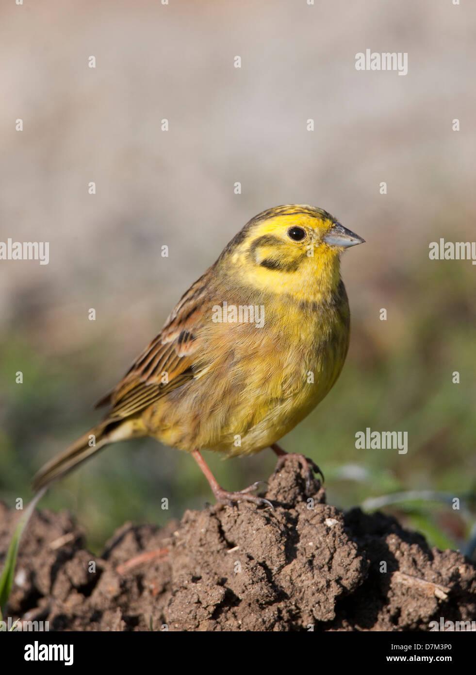 Yellowhammer Emberiza citrinella passerine - Stock Image