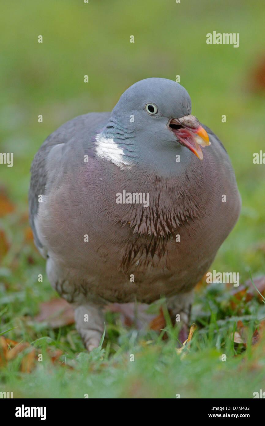 Wood pigeon - Stock Image