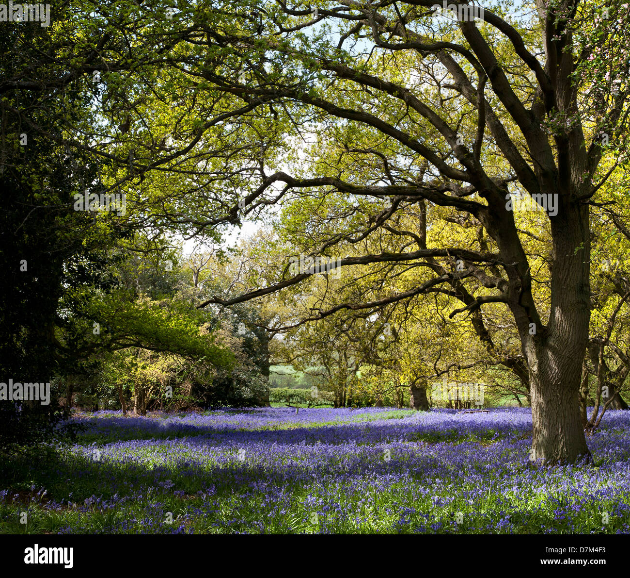 BLUEBELLS GROWING AT HILLHOUSE WOODS IN WEST BERGHOLT, COLCHESTER, ESSEX, ENGLAND - Stock Image
