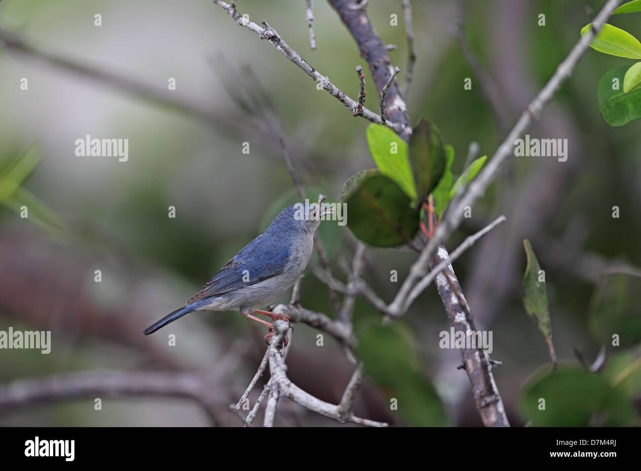 Bicoloured Conebill (Conirostrum bicolor) Stock Photo