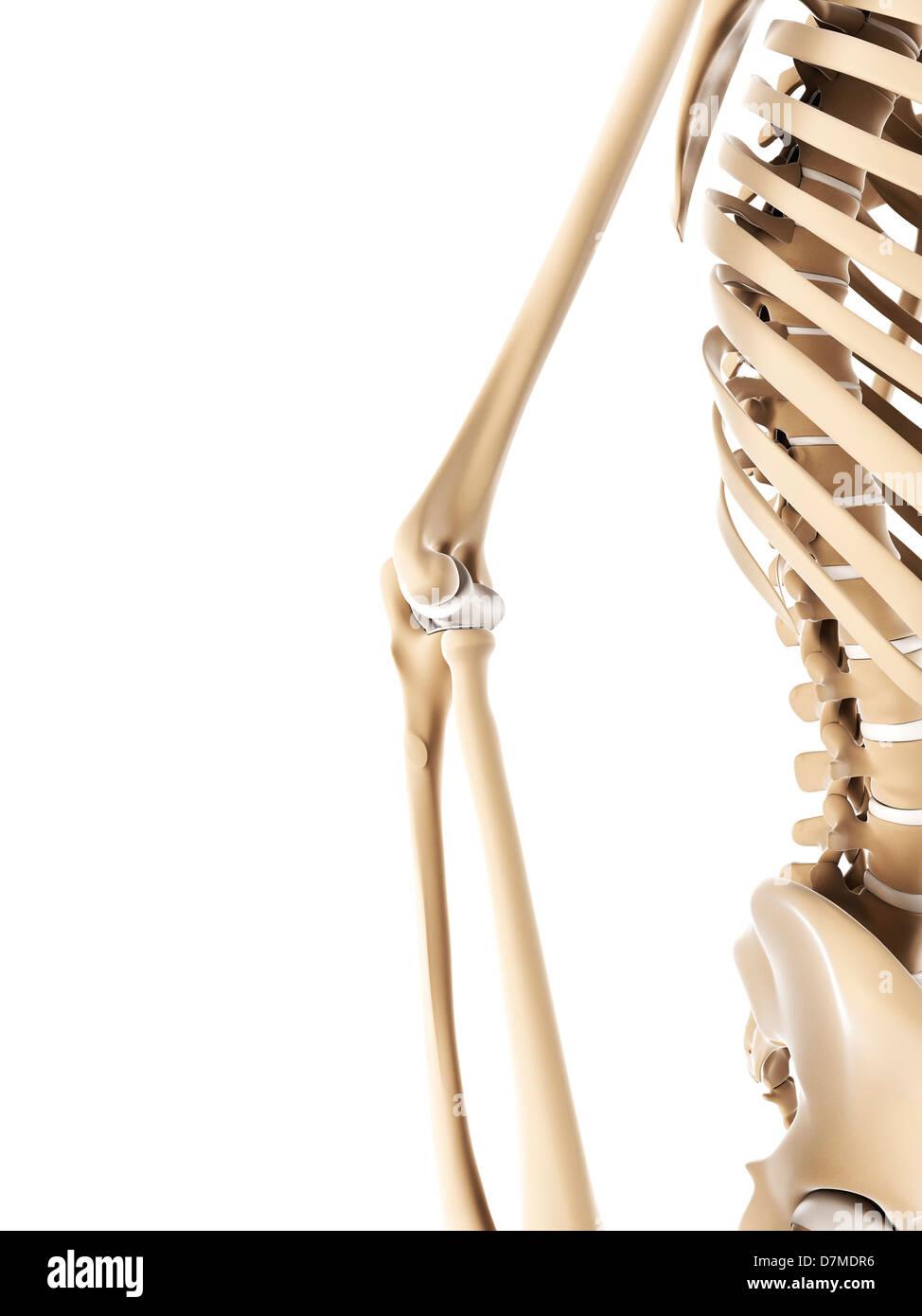 Elbow Bones Stock Photos Elbow Bones Stock Images Alamy