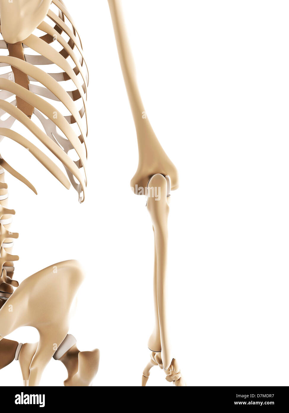 Elbow Bones Stock Photos & Elbow Bones Stock Images - Alamy