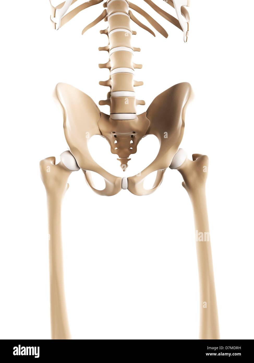 Pelvis Bones Artwork Stock Photo 56383589 Alamy