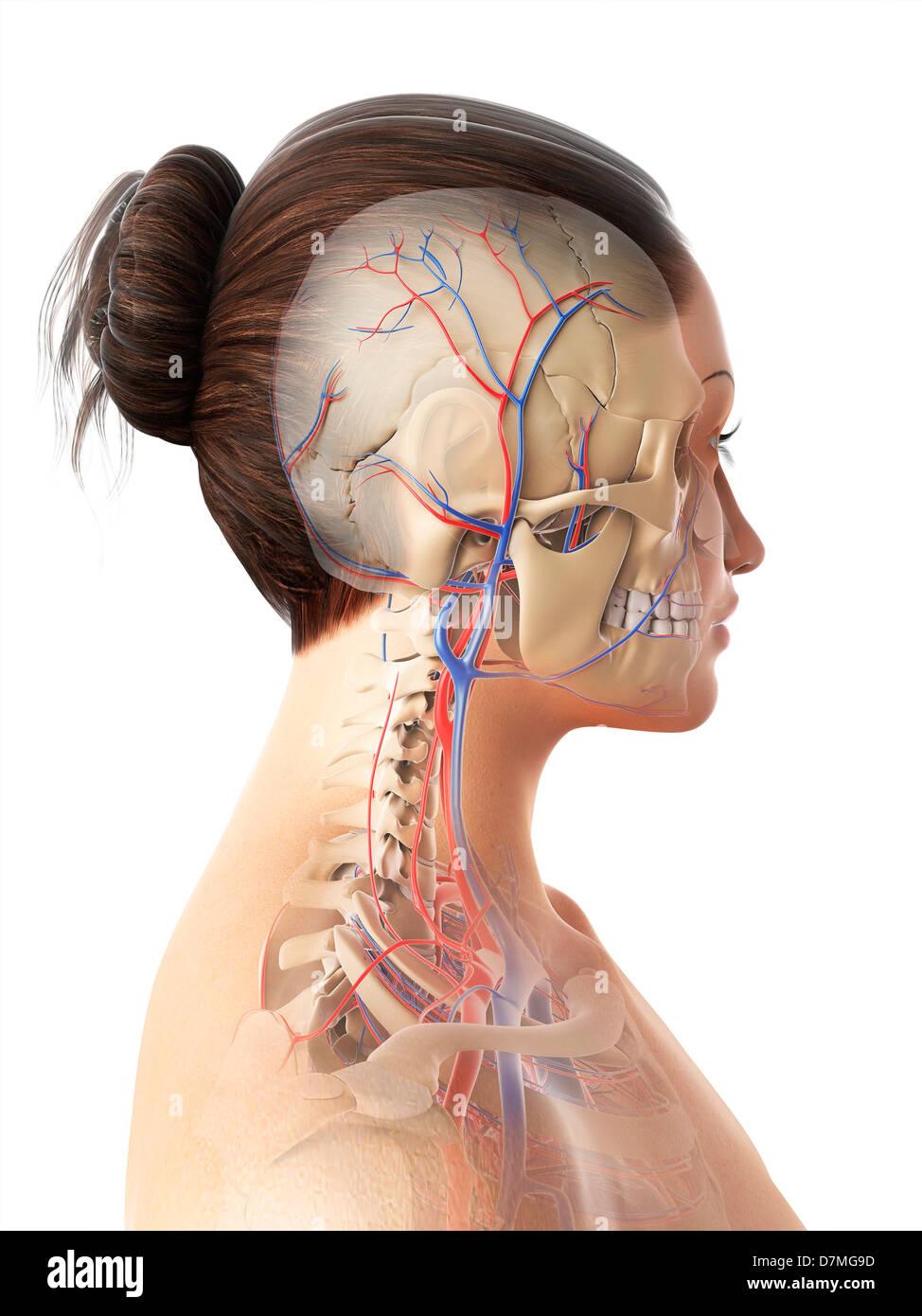 Female vascular system, artwork Stock Photo: 56385545 - Alamy