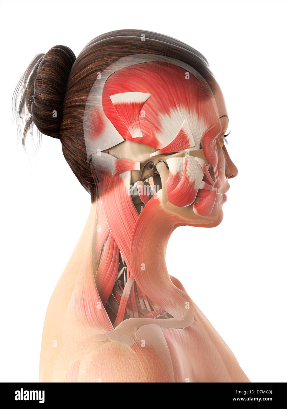 The Muscles Of The Human Head Stock Photos The Muscles Of The