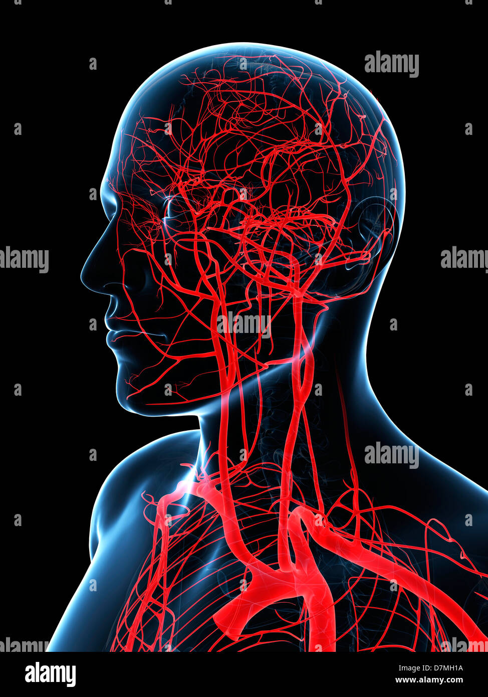 Head and neck arteries, artwork Stock Photo: 56386102 - Alamy
