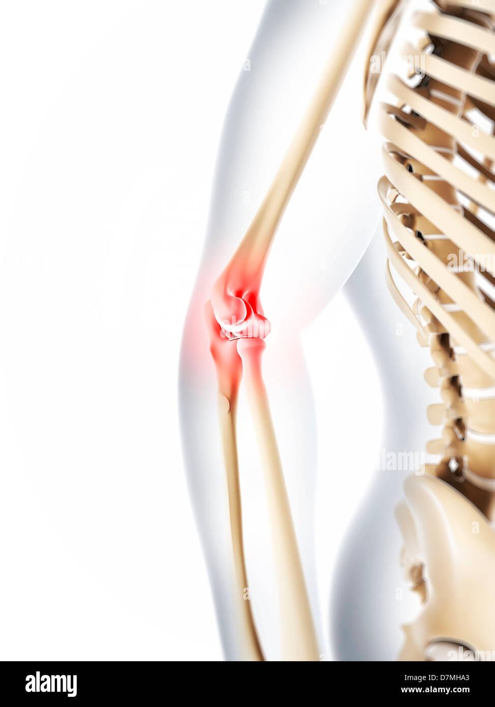 Human Skeleton Arm Elbow Anatomy Stock Photos & Human Skeleton Arm ...