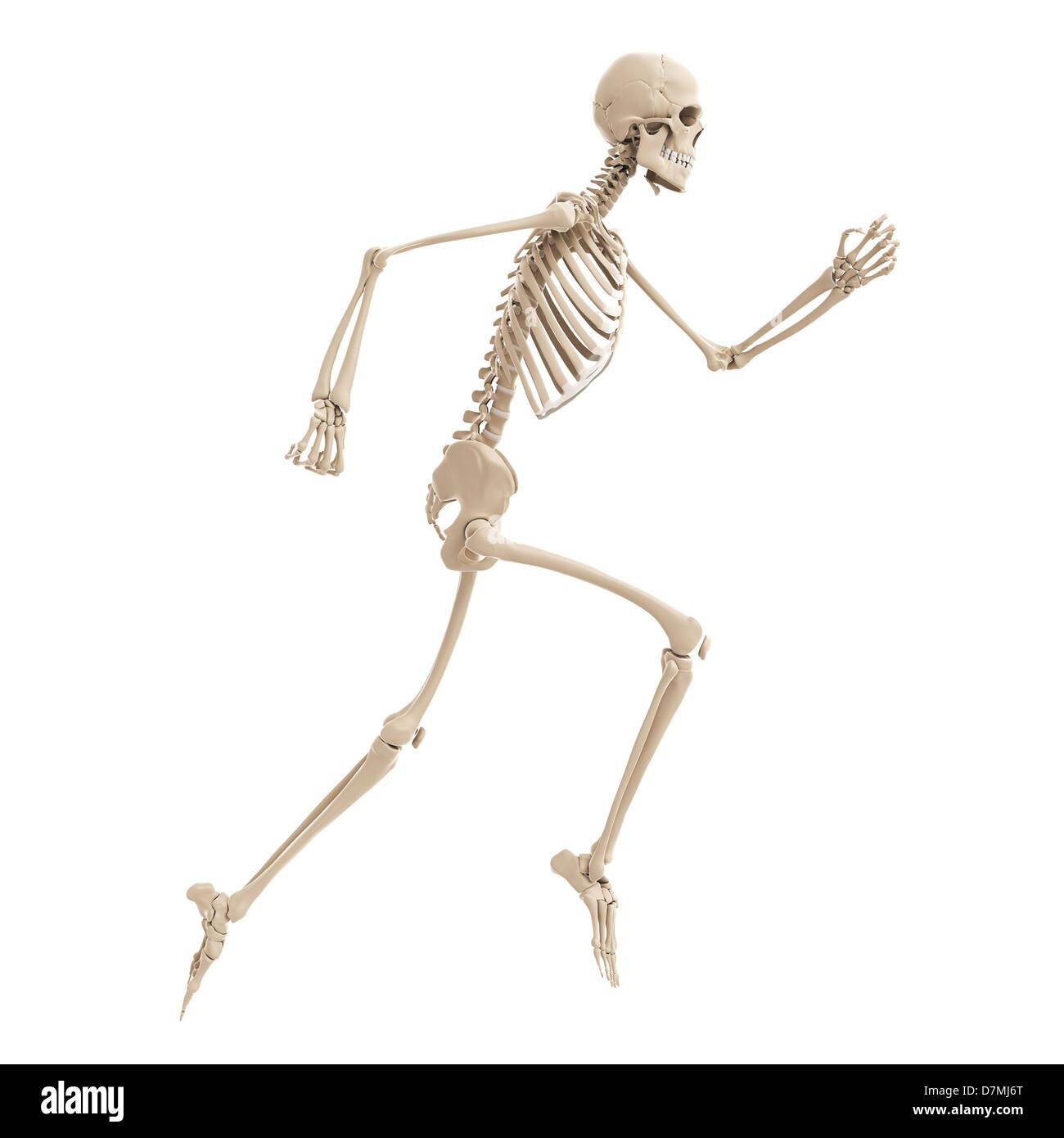Running skeleton, artwork Stock Photo