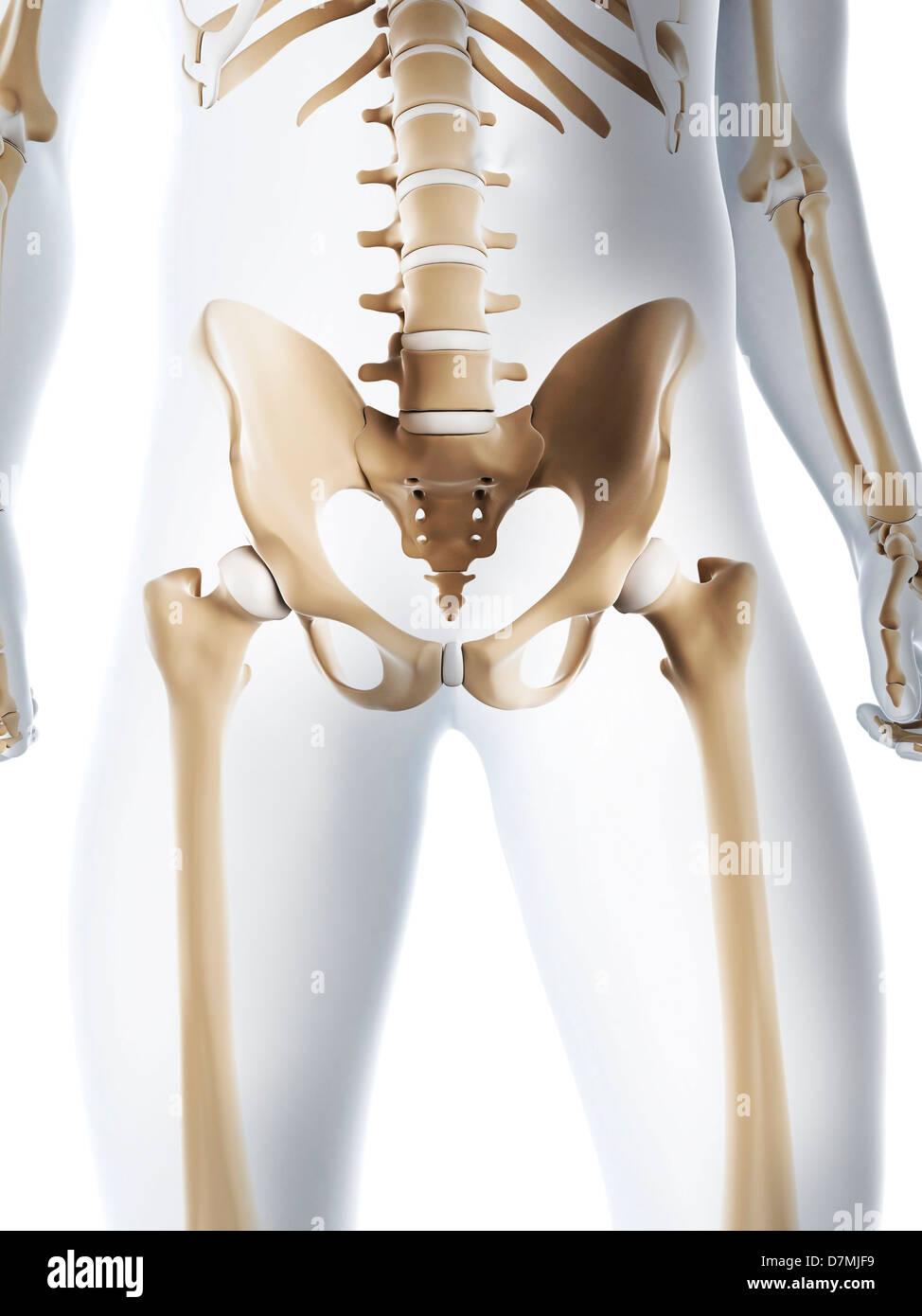 Male Pelvis Bones Stock Photos & Male Pelvis Bones Stock Images - Alamy