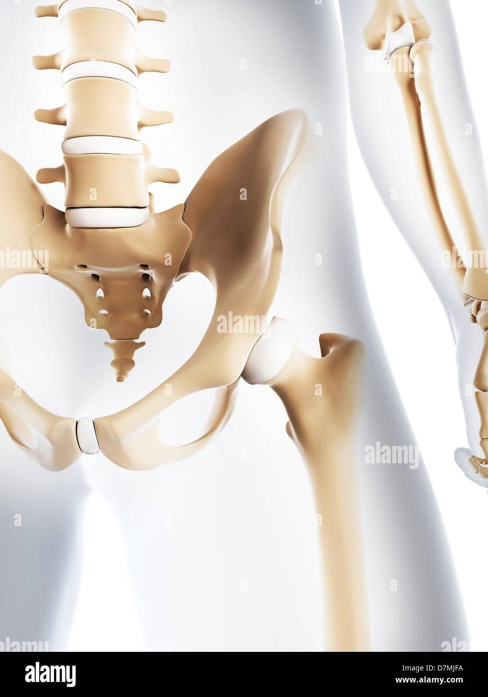 Male Pelvis Bones Artwork Stock Photo 56387278 Alamy