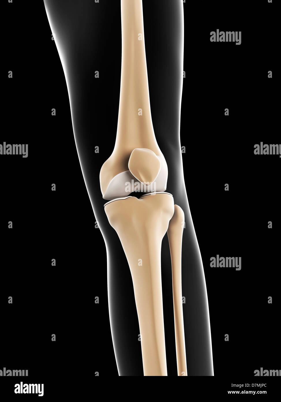 Male Knee Anatomy Bones Stock Photos Male Knee Anatomy Bones Stock
