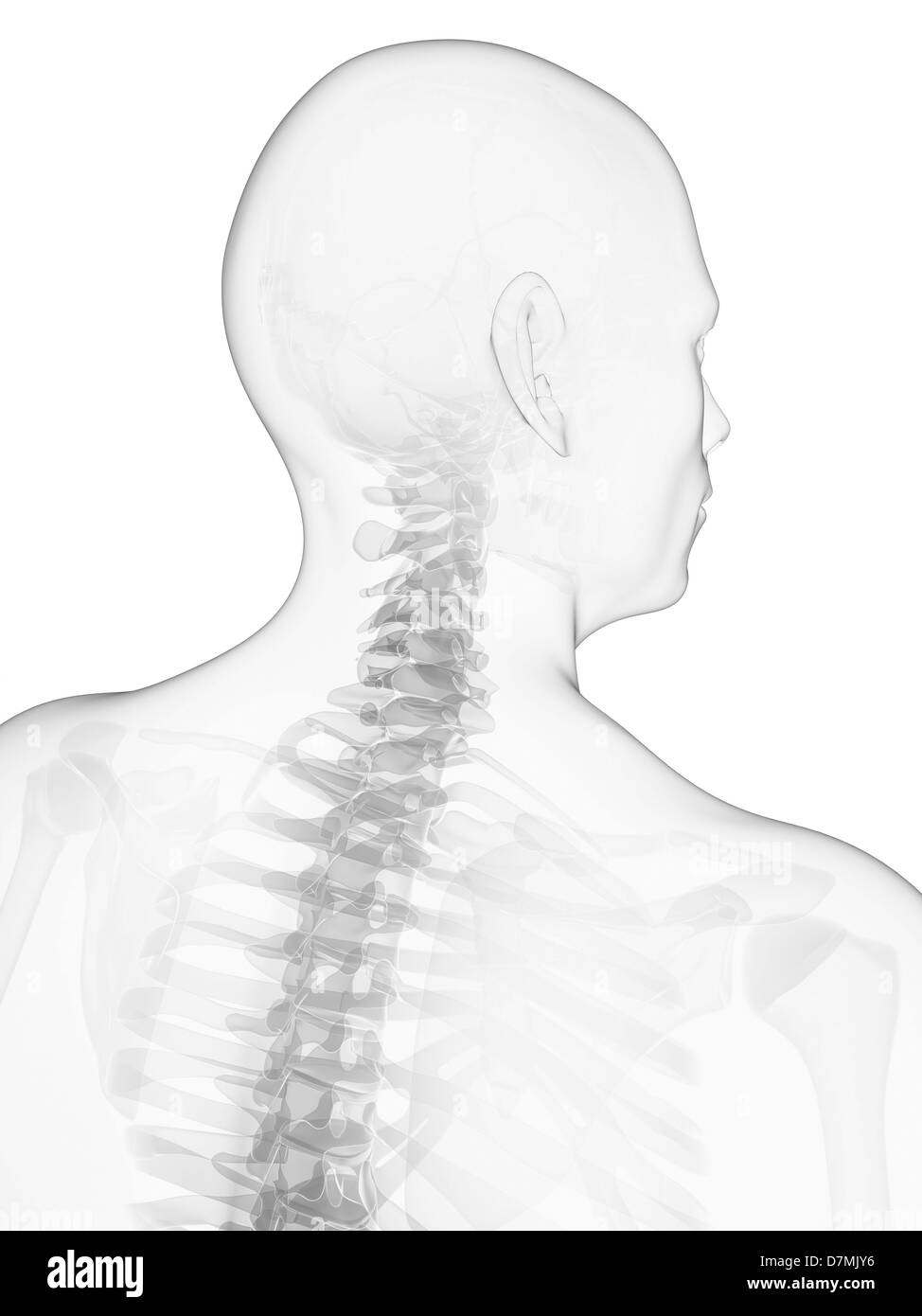 Normal neck bones stock photos normal neck bones stock images alamy neck bones artwork stock image ccuart Choice Image