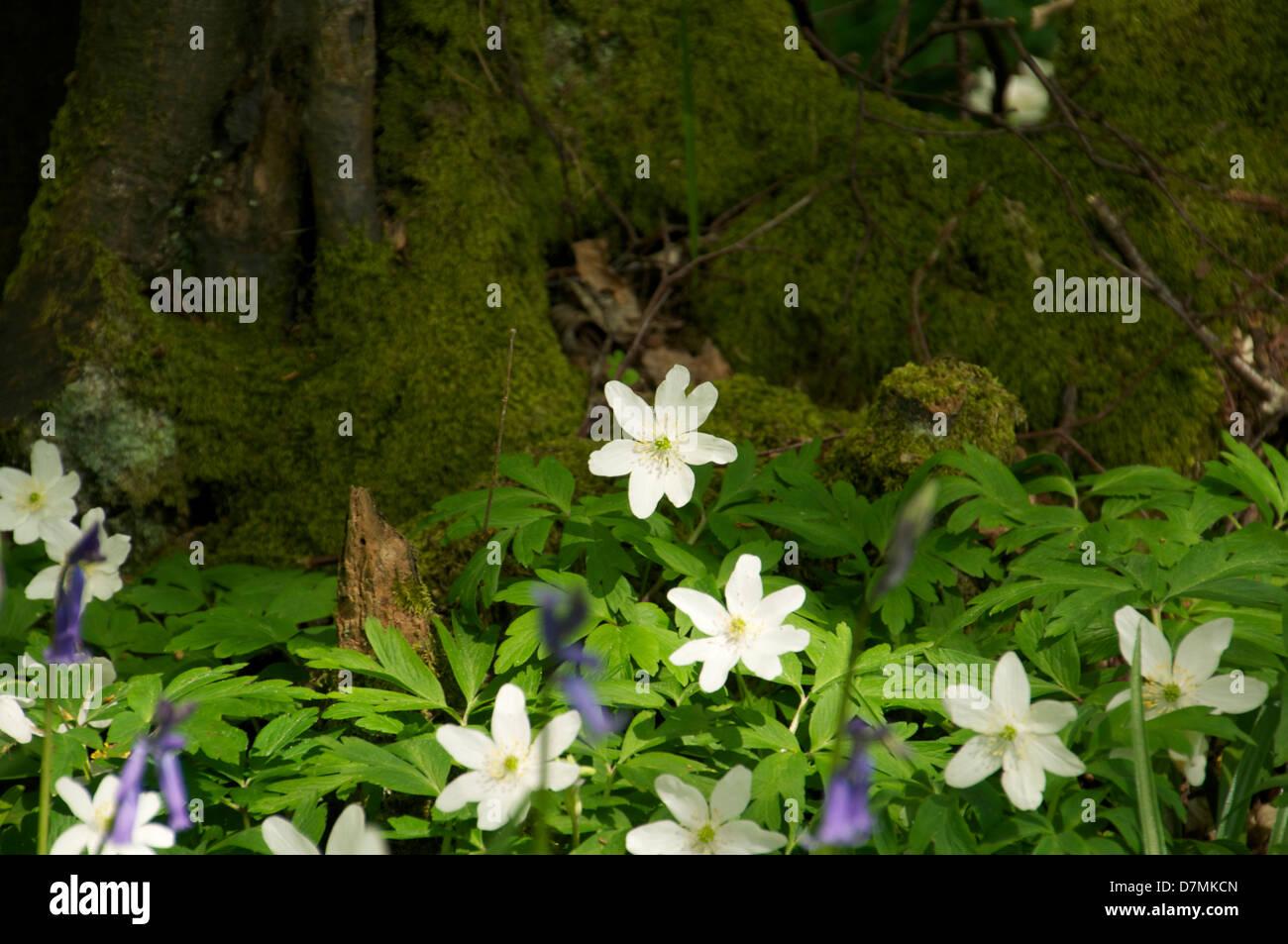 Bluebells Anemone Woodland Sussex Walk Moss On Log Shadows White