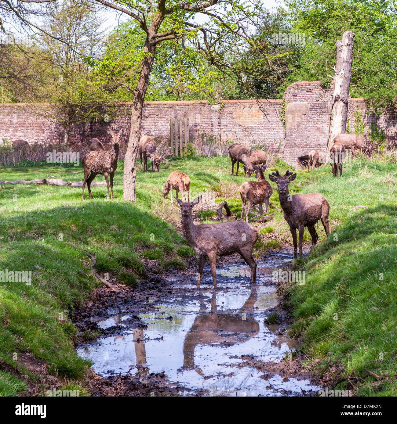 Red deer cooling off in a muddy stream in Richmond Park, London, UK - Stock Image