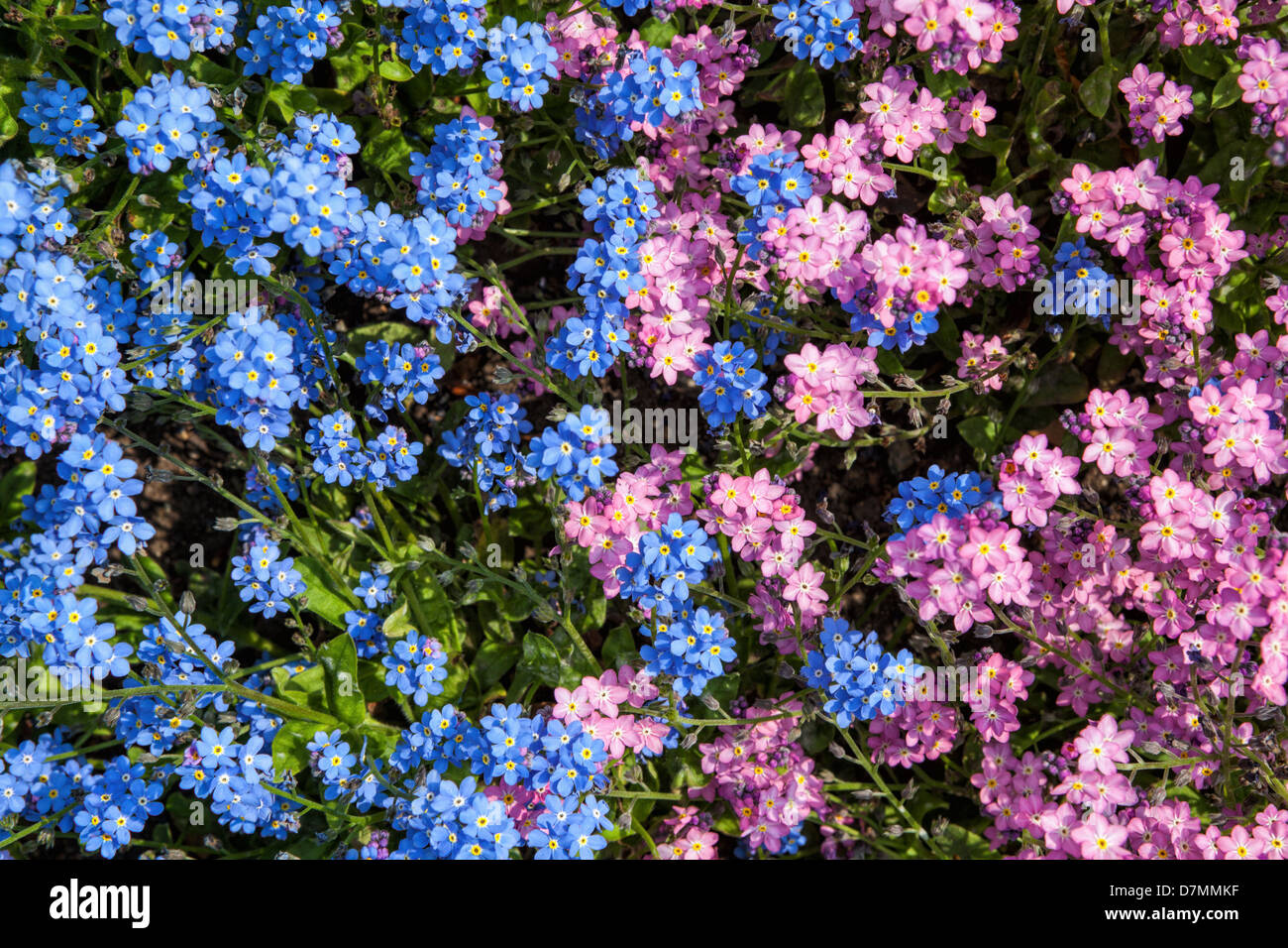 Myosotis stock photos myosotis stock images alamy pink and blue forget me not myosotis flowers in spring stock mightylinksfo