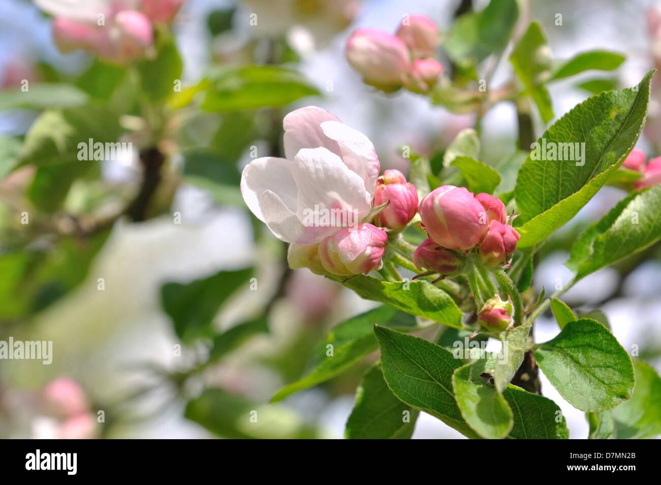Nice pink flowers stock photos nice pink flowers stock images alamy close on nice pink flowers and buds of an apple tree stock image mightylinksfo